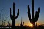 Idyllische Sonnenuntergänge im Südwesten - Saguaros at Sunset