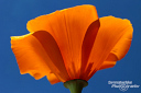 California Poppy in der Antelope Valley Poppy Reserve