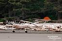 Eine ganze Weißkopfseeadler-Familie hielt sich vor unserer Campsite an der Shi Shi Beach auf. Leider waren die Babyadler etwas scheuer und schneller weg als ihre Eltern, die hier auch schon etwas beunruhigt geschaut haben... :-)