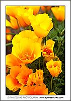 Ostergruß mit einem Strauß California Poppies
