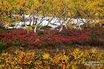 Viele Bäume gibt es in Island bekanntlich ja nicht, aber die wenigen Krüppelbirken, die man hier und da antrifft, harmonierten perfekt mit dem rötlichen Herbstlaub der Beerensträucher.