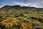 Selbst auf den moosüberzogenen Lavabrocken (Eldhraun) waren die gelben und roten Farbtupfer nicht zu übersehen. Island ist auch im Herbst wunderschön!