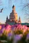 Die Krokusse in Dresden stehen in voller Blüte, hier der Blick vom Japanischen Palais in Richtung Frauenkirche.