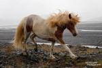 Bei diesem Sommerwetter standen sogar den isländischen Pferden zuweilen die Haare zu Berge…