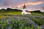 Der Frühsommer ist eine tolle Zeit für die blühenden Lupinen-Felder, hier in den frühen Morgenstunden bei der Kirche in Vik.