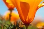 Eine der schönsten Wildblumen im Südwesten der USA ist die California Poppy. Nach kräftigen Herbst- und Winter-Niederschlägen in sog. El Nino Jahren sorgt sie für herrliche Farbtupfer in Südkalifornien sowie unter den mächtigen Saguaros in der Sonora Wüste.
