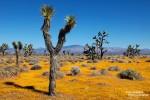 Über weite Teile der Mojave Wüste breiten sich dann dichte Wildblumen-Teppiche aus.