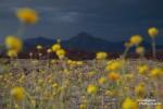 Desert Gold mit etwas Desert Rain - so einen tollen Himmel sieht man im Death Valley nicht alle Tage und in Kombination mit Wildblümchen schon gar nicht. :-)