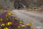 Die Superbloom 2016 machte auch vom Titus Canyon nicht halt. Beidseitig der Piste schmückten Wildblumen den Boden der sonst so kargen Schlucht.