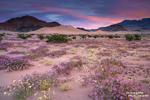 Das Death Valley belegt im Jahr 2015 nur Platz 20 im Ranking der meistbesuchten Nationalparks der USA, das könnte sich aber dieses Jahr ändern aufgrund der spektakulären Jahrhundertblüte im Winter 2016. Mitte Januar war das Todestal zum Leben erwacht und ausgedehnte Blumenfelder haben Besucher aus aller Welt wochenlang begeistert.