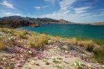 Lake Mohave im März 2016 mit weißen Primroses und lilafarbenen Sandverbenen