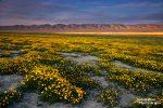 Herrliche Wildblumen-Teppiche bedecken in einem El Nino Frühling die Ebenen und Hügelketten im Carrizo Plain National Monument