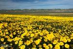 Die Blumenwiesen in der Carrizo Plain sahen fantastisch aus, allen voran die größeren Hillside Daisies.