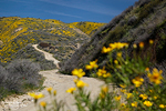 Über die sonst so karge Temblor Range breiteten sich großflächige, gelbe Wildblumenteppiche aus.