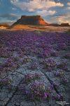 Und zwar auf allen Hügeln und Flächen, auch in den ausgetrockeneten Flussbetten auf der Rückseite der Factory Butte, wo wir Anfang Mai zum Sonnenuntergang noch diesen Blumenteppich aus Purple Mat fotografiert haben.