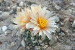 Winzig klein ist der bedrohte Winklers Cactus, Mitte April machte er mit seinem überdimensionalen Blüten noch auf sich aufmerksam, bereits Anfang Mai hoben sich die gerade mal daumengroßen Gewächse vom Wüstenboden kaum mehr ab.