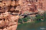 Ein herrlicher Anblick wie der Kondor durch die enge Schlucht des Colorado River gleitet.
