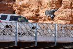 Das große, schnell fahrende Auto war dem P4-Kondor, der sich auf dem Brückengeländer niedergelassen hatte, dann doch nicht ganz geheuer...