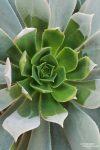 Auf den Kanarischen Inseln endemisch sind viele Aeonium-Arten.