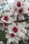 Wenn man bloß den herrlichen Duft der Mandelblüten auch auf Fotos wiedergeben könnte!