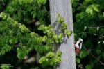 Die sitzen gern auf Bäumen und man hört sie schon von Weitem, entweder durch ihre eigenwilligen Rufe oder durch ihr Hämmern. Im Friedewald leben Schwarz-, Grün- und Buntspechte.