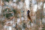 Ein optisch eher unscheinbarer Vogel, aber mit seinem Gesang hat er uns immer verzaubert. Die Drosselrohrsänger sind allgegenwärtig im Schilf, ebenso ihre nahen Verwandten die Sumpf-, Teich- und Schilfrohrsänger.