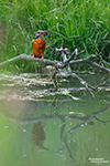 An ruhigen Flussläufen und kleinen Teichen in Sachsen sind wunderschöne Vögel beheimatet. Auf diesem Foto erkennt man gut die orangeroten Fußerln der erwachsenen Eisvögel und dass es sich um eine adrette Eisvogel-Dame handelt (nur sie hat eine bunte Schnabelunterseite).
