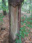 Auffällig sind in den Wäldern der Moritzburger Teiche die vielen Kiefern, die zu DDR-Zeiten zur Harzgewinnung genutzt wurden. Sie tragen bis heute diese typischen Narben (Harzlachten) in ihrer Rinde.