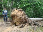 Auch die Anzahl an umgefallenen Bäumen ist rund um Moritzburg auffällig. Der sandige Boden bietet wahrscheinlich keinen besonders guten Halt. Es gab sogar noch weitaus größere Wurzelballen, die dort in die Luft ragten.