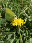 Davon gab es an sonnigen Wegen besonders viele: Zitronenfalter. Diese Schmetterlinge sind erstaunlich, sie leben rund 1 Jahr lang, überstehen den Winter und sind somit die langlebigsten in Europa.