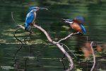 Die Jungvögel verhielten sich nicht gerade leise, besonders laut wurde es, wenn sie nach Futter bettelten.