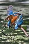 Wenn der Eisvogel-Papa einen Fisch bringt, freut sich nicht nur das Jungtier. Naturbeobachter und Fotografen ebenso! ;-)