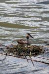 Und Anfang Juli hatte ein Haubentaucher-Pärchen die Eier in ein Nest unmittelbar unterhalb des Beobachtungturms am Brösaer Teich gelegt. Eine Woche nach diesem Foto sind die Jungvögel geschlüpft.