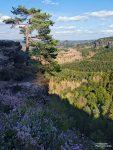Selbst bei der berühmten Kiefer am Gleitmannshorn sieht man die Waldschäden deutlich.