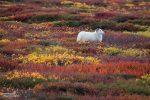 Bei den vielen bunten Beerensträuchern wird sogar ein ganz normales Schaf extra fotogen.