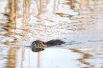 Am späteren Nachmittag kommen die Nutrias aus ihrem Versteck heraus und wenn man sich ruhig verhält, sind sie wenig scheu und schwimmen sogar direkt bei der Plattform im Langteich vorbei.