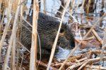 Nutrias verstecken sich gern im Schilf, wo sie dann genüsslich an den Gräsern knabbern oder sich minutenlang kratzen, wenn der Pelz wieder mal ganz arg juckt.