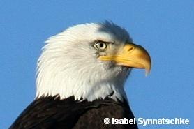 Bald eagle im Bosque del Apache