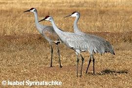 Sandhill cranes am Farm Deck Bosque del Apache