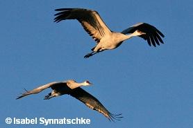Sandhill cranes im Flug im Bosque del Apache